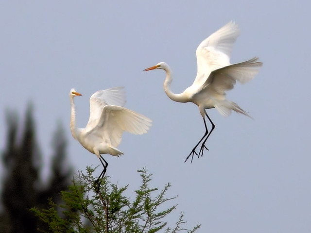 Great Egret duo HDR 02-20160313