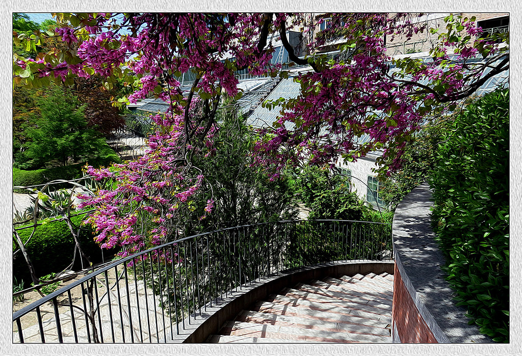 bajo las ramas del cercis en flor