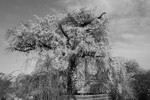 a famous tree of Sakura at Maruyama Park, Kyoto on APR 06, 2016 (3)