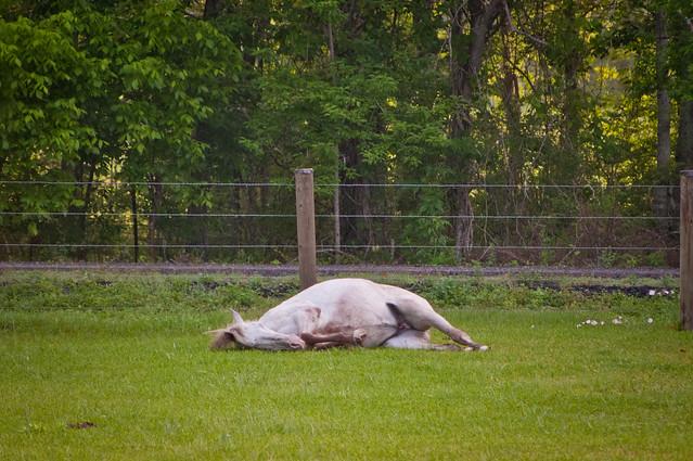 Horse Nap