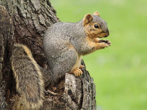 Fox Squirrel 20160420