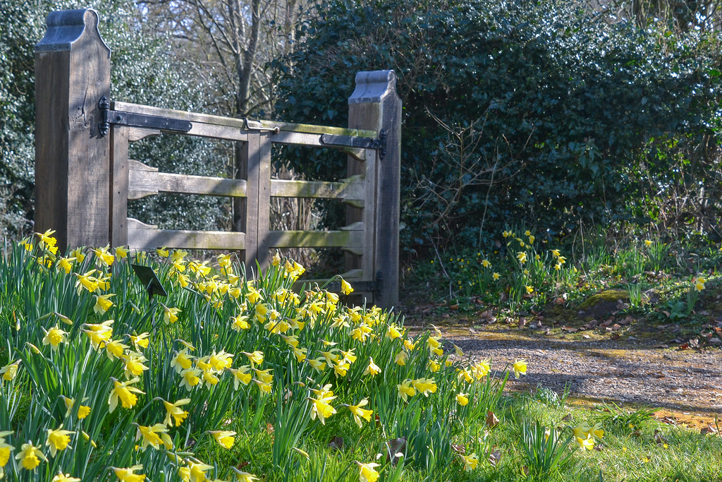 daffodils-4