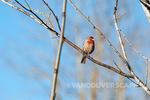 Brookside Inn/House Finch