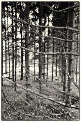 Forest * B/W