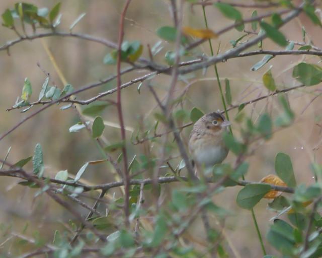 Grasshopper Sparrow - 1