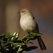 sunlit mockingbird by philliefan99