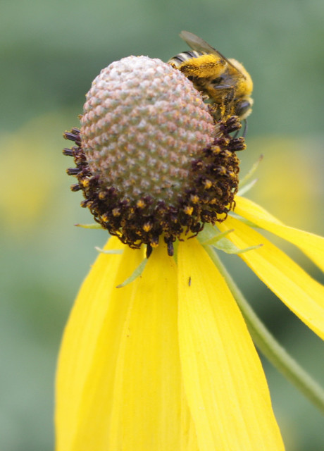 possibly honeybee covered in pollen, at the top of the cone heading down to the right
