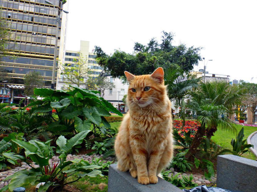Kennedy Park Cat Lima Peru