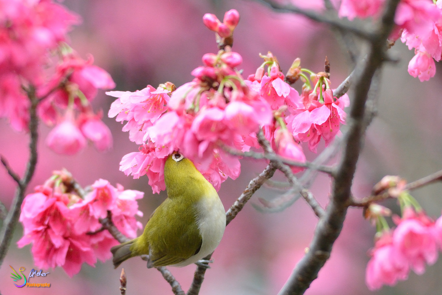 Sakura_White-eye_5834