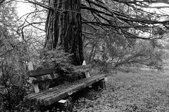 Decaying bench under Sequoia