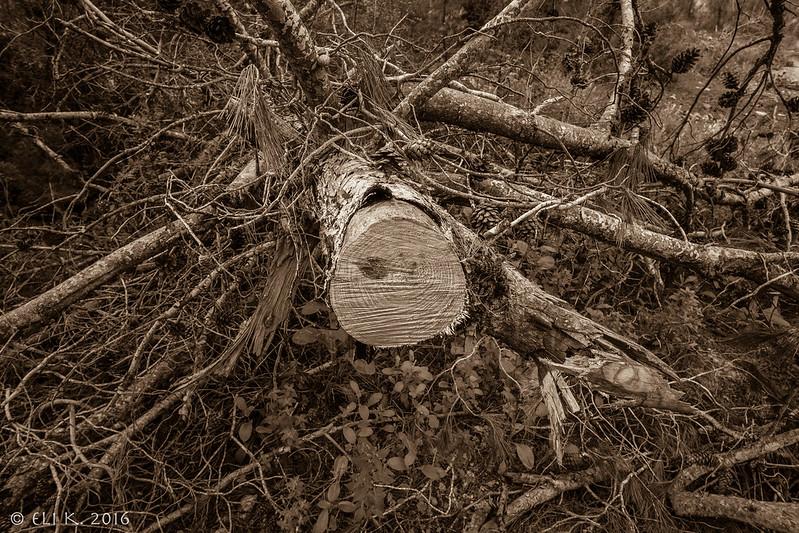 Cyclamen Forest, Tal Shakhar