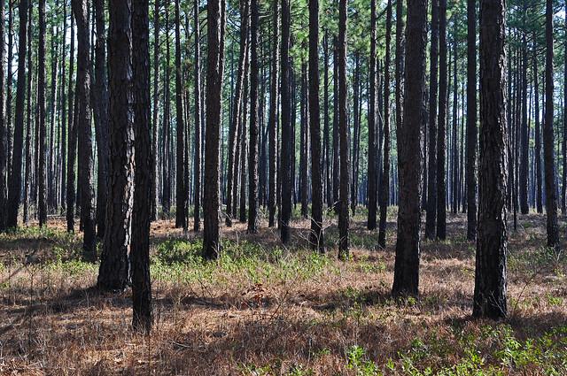Zuni Pine Barrens (6)