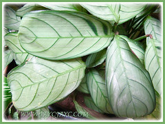 Lovely foliage pattern on Ctenanthe burle-marxii 'Amagris' (Fishbone Prayer Plant), Feb 18 2016