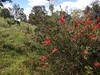 Historic callistemon plantation