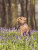 Charlie in a Sea of Bluebells