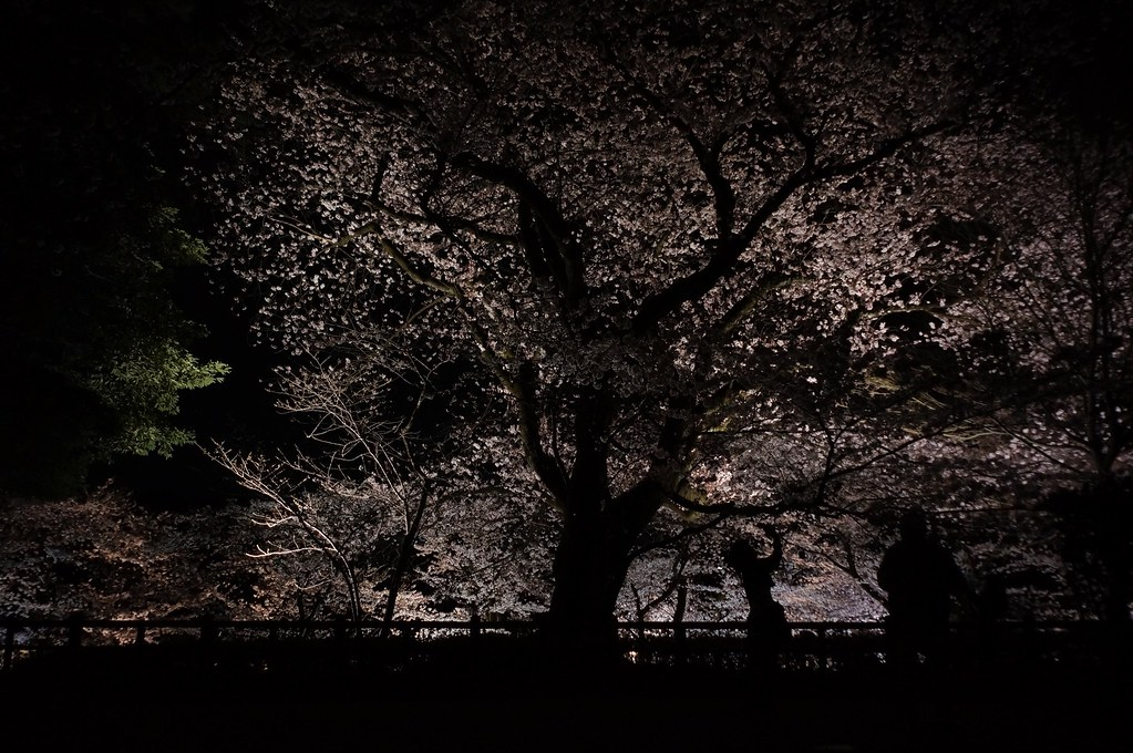 Cherry tree of the Kanazawa castle park