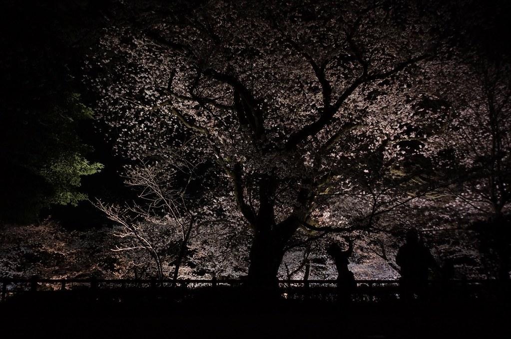 金沢城の桜