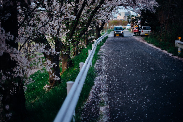 CherryBlossoms_414