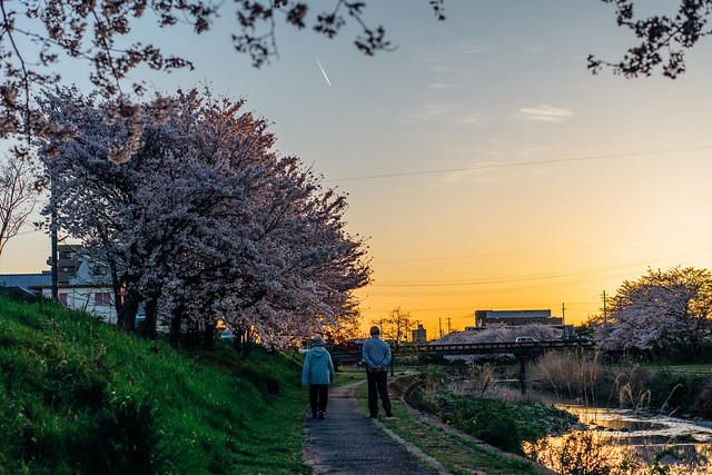 CherryBlossoms_307