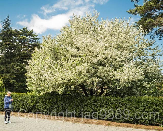Cherry Tree, The New York Botanical Garden, Bronx, New York City