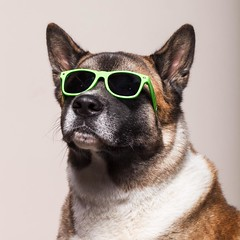 Rudy, the coolest #akita #studiophotography #phodography #scca #dogsofinstagram #🐶