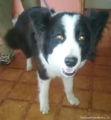 Sat, Feb 6th, 2016 Found Male Dog - Main Street, Mountmellick, Laois