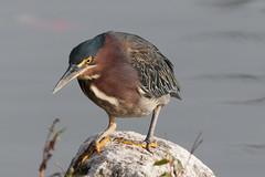 IMG_1875.jpg Green Heron, West Lake Park, Santa Cruz