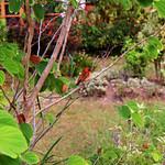 Foudia madagascariensis