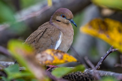 White-winged Dove, Wakodahatchee Wetlands