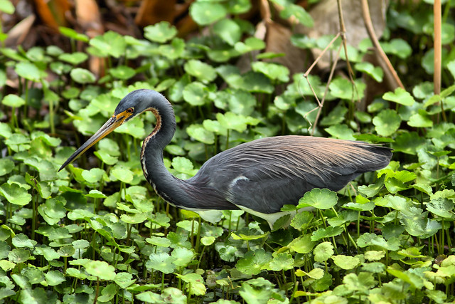 Tricolored Heron HDR 01-20160221