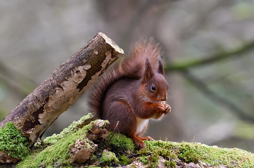 Rare Eurasian Red Squirrel - County Donegal - Ireland