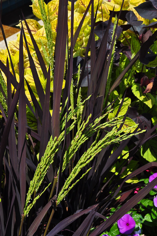 Channel Beds with Oryza sativa 'Black Madras'