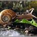 elona quimperiana 4 Escargot de Quimper by MALACOLLECTION Landshells Freshwater Gastropods