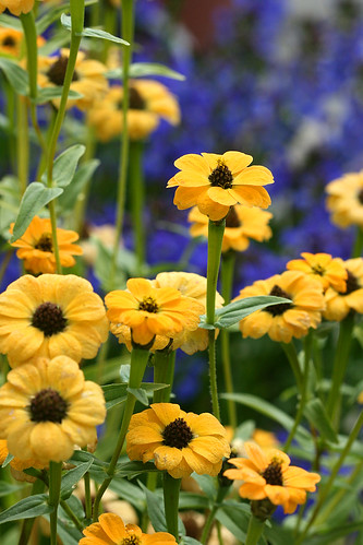 Zinnia bonita yellow