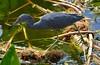 Little Blue Heron (Egretta Caerulea)  - Wakodahatchee Wetlands, Florida, USA by David Maj Birds and Nature Photostream