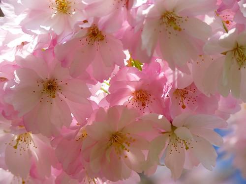 japanese-cherry-trees-6344_1920