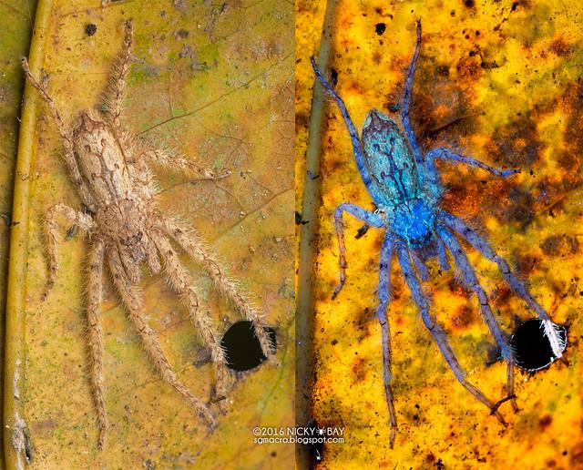 Huntsman spider (Pandercetes sp.) - Pandercetes_DSC_9674b