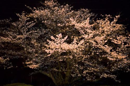 神戸製鋼所の桜 03