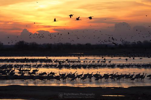 bird sunrise dawn spring nebraska crane cranes migration sandhill flyway platteriver gruscanadensis right2roam