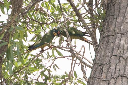 Blue-winged Macaw (Primolius maracana), Rio de Pedras near Canudos, Bahia, BR, 20160114-101.jpg