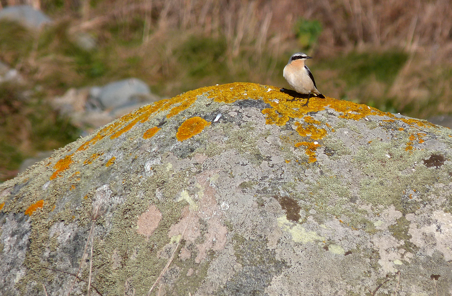 Wheatear Pulias 21Mar16