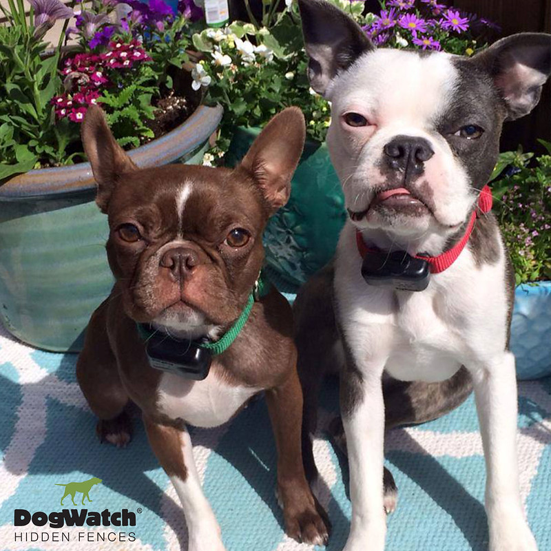 Hugo and Charlotte, Boston Terriers, DogWatch by Great Lakes Fencing