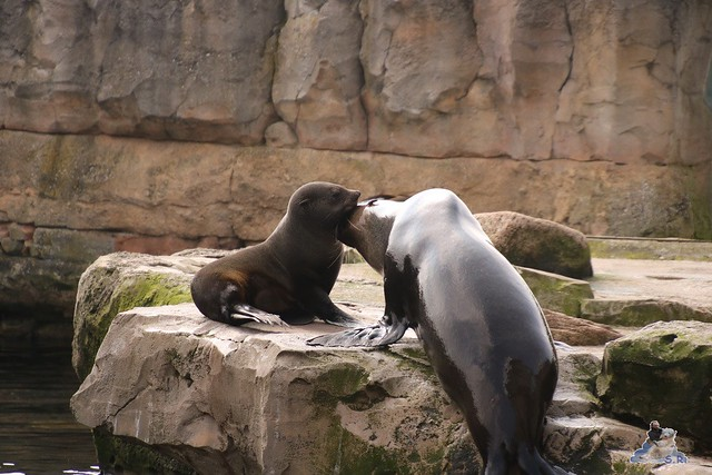 Eisbär Lili im Zoo am Meer Bremerhaven 09.04.2016 Teil 1  096