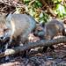 La Famille Renard - Fox Family - (3) by Joanne Levesque