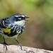 Yellow-rumped Warbler (male) DSC_4736-1