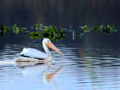 American White Pelican HDR 03-20160202