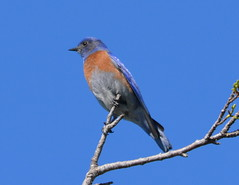 Western Bluebird at Alameda Point campground