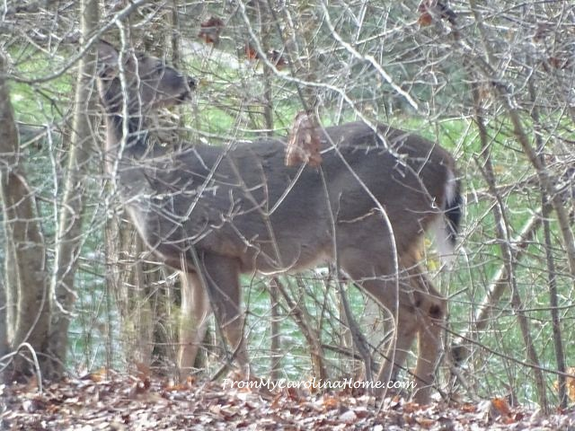 Deer January 2016 ~ From My Carolina Home