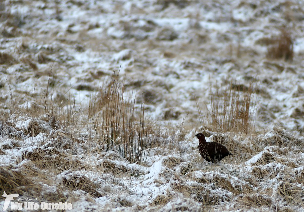 P1000309 - Red Grouse, Pen y Fan, Feb 2016