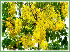 Captivating pedulous yellow flowers of Cassia fistula (Golden Shower Tree/Cassia, Purging Cassia/Fistula, Indian Laburnum), Feb 7 2014
